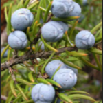 juniperberries